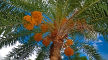 An image of a date palm tree